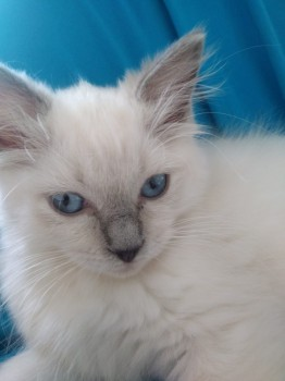 chaton ragdoll, Photo 1