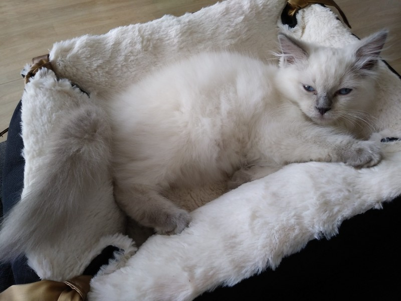 chaton ragdoll, Photo 3