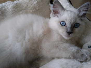 chaton ragdoll, Photo 4