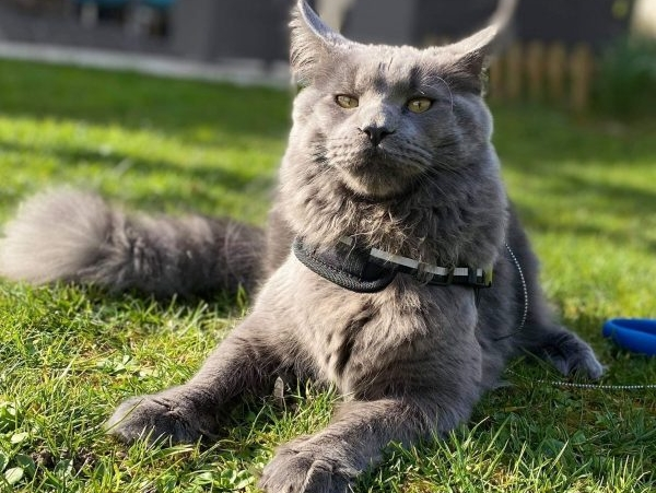 chaton Maine Coon Blue