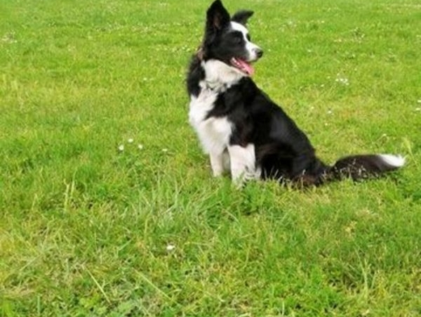 femelle border collie